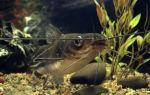 Мистус полосатый сом: содержание, совместимость, фото-видео обзор – домашняя аквариумистика