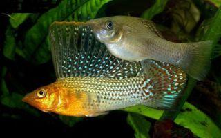 Моллинезия велифера, парусная, высокоплавничная фото-видео обзор – домашняя аквариумистика