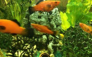 Меченосец аквариумная рыбка: содержание, совместимость, размножение, фото-видео обзор – домашняя аквариумистика