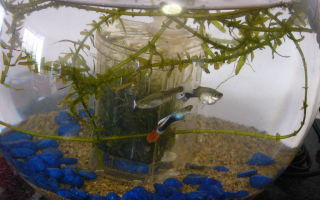 Как содержать одну из самых популярных рыбок гуппи – домашняя аквариумистика
