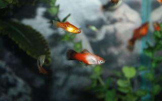 Ксифофорус или пецилия – домашняя аквариумистика