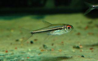 Гетерорабдус – домашняя аквариумистика