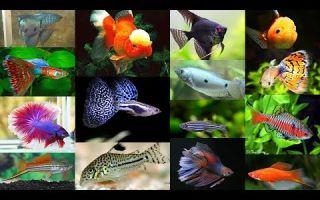 Популярные аквариумные рыбки – домашняя аквариумистика