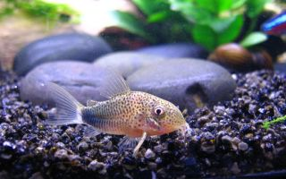 Коридорас элегантный – домашняя аквариумистика