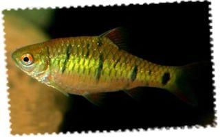 Барбус зеленый: содержание, совместимость, разведение, фото-обзор – домашняя аквариумистика