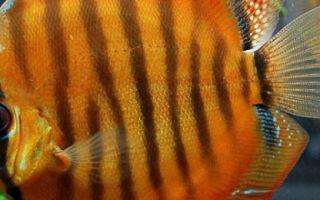 Дискус коричневый – домашняя аквариумистика