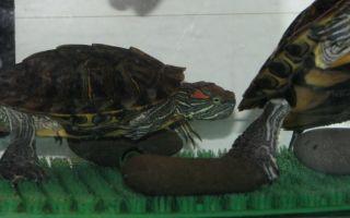 6 верных способов определить пол красноухой черепахи – домашняя аквариумистика