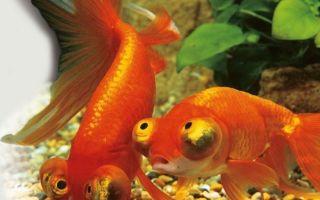 Звездочет или небесное око – домашняя аквариумистика