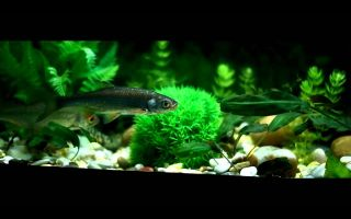 Верховка рыбка – домашняя аквариумистика