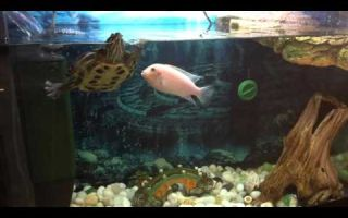 Цихлиды родители выгоняют назойливую черепаху! – домашняя аквариумистика