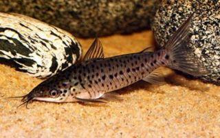 Дианема лонгибарбис – домашняя аквариумистика