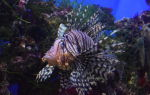Крылатка опасная красавица! – домашняя аквариумистика