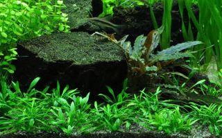 Криптокорина парва: содержание, фото-видео обзор – домашняя аквариумистика