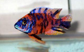 Псевдотрофеус разноцветный – домашняя аквариумистика