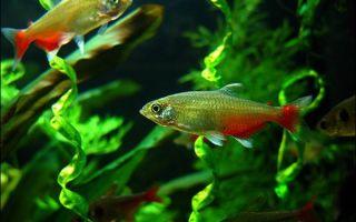 Афиохаракс рубиновый ратбуна – домашняя аквариумистика