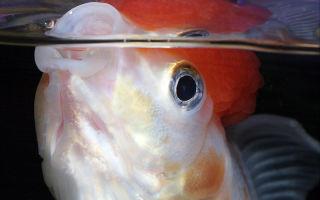 Рыбка открывает рот у поверхностиводы: глотает, хватает воздух кислород, задыхается, что делать? – домашняя аквариумистика
