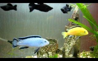 Псевдотрофеус пиндани – домашняя аквариумистика