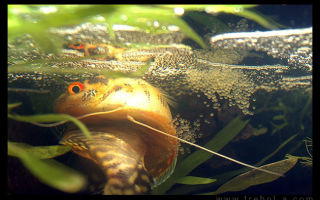Гурами жемчужный разведение и нерест – домашняя аквариумистика