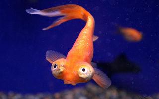 Звездочет или рыбка небесное: фото-видео обзор – домашняя аквариумистика