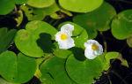 Водокрас лягушачий или обыкновенный для водоемов: описание, цветение, фото-видео обзор – домашняя аквариумистика