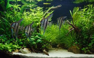 Короли аквариумного мира, вы безупречны! – домашняя аквариумистика