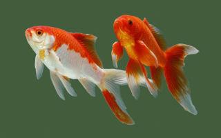 Карась серебряный – предок всех золотых рыбок – домашняя аквариумистика
