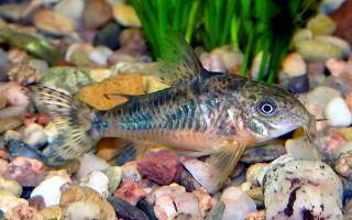 Коридорас крапчатый или сомик крапчатый – домашняя аквариумистика
