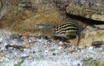 Юлидохромис регана – домашняя аквариумистика