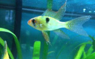 Ихтиофтириоз, как и чем лечить манку у аквариумных рыбок? – домашняя аквариумистика
