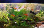 Гуппи и 19 совместимых с ними рыбок – домашняя аквариумистика