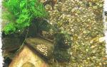 Чистильщики и санитары аквариума: рыбки, креветки, улитки избавляющие от водорослей – домашняя аквариумистика
