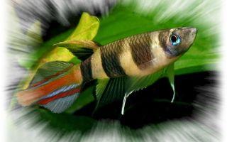 Фундулус – домашняя аквариумистика