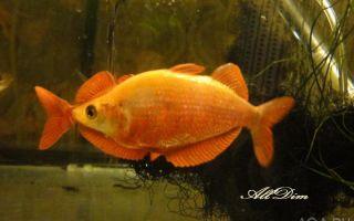 Глоссолепис красный – домашняя аквариумистика