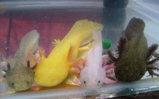 Разноцветные аксолотли! – домашняя аквариумистика