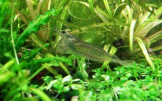 Легендарные аманки – домашняя аквариумистика