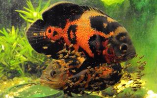 Астронотус разведение и нерест – домашняя аквариумистика