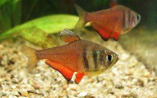 Тетра фон рио – домашняя аквариумистика