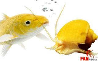 Рыбки и улитки друзья или враги? – домашняя аквариумистика