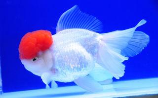 Оранда – золотая рыбка: содержание, совместимость, разведение, фото-видео обзор – домашняя аквариумистика
