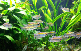 Конго аквариумная рыбка: содержание, фото-видео обзор – домашняя аквариумистика