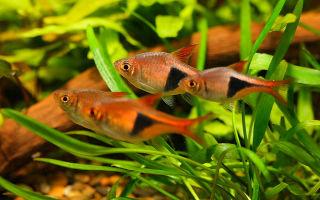 Расбора клинопятнистая – гетероморфа : содержание, размножение, видео обзор – домашняя аквариумистика