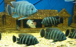 Тиляпия нильская – домашняя аквариумистика