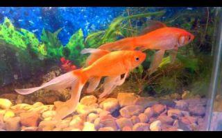 Комета – золотая рыба – домашняя аквариумистика