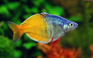 Меланотения босмана или двухцветная атерина – домашняя аквариумистика