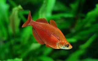 Глоссолепис красный – радужница атерина: содержание, фото-видео обзор – домашняя аквариумистика