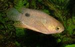 Анабас – рыба ползун – домашняя аквариумистика