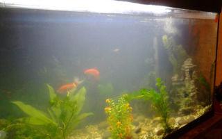 Мутный аквариум: от чего и почему мутнеет вода, что делать? – домашняя аквариумистика