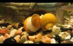 Аквариумные улитки – бои без правил – домашняя аквариумистика