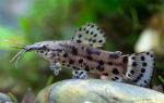 Торакатум – содержание и уход – домашняя аквариумистика
