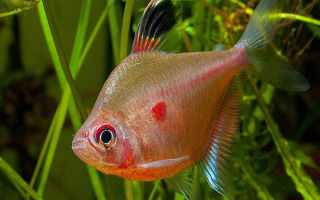 Орнатус – домашняя аквариумистика
